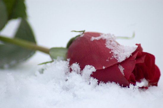 red-rose-in-snow